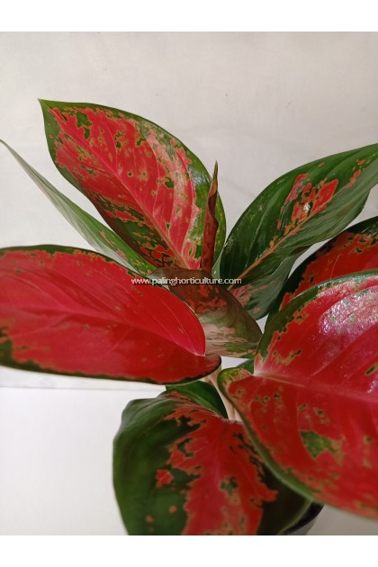 Aglaonema Red Valentine