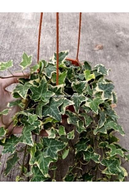 Ivy Hedera Helix