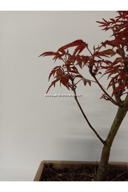 Japanese Maple Red Bonsai