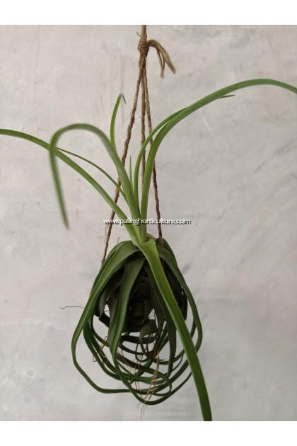 Streptophylla Belize