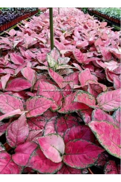 Aglaonema China Red