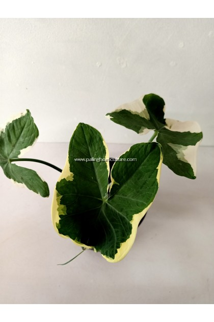 Alocasia Mickey Mouse