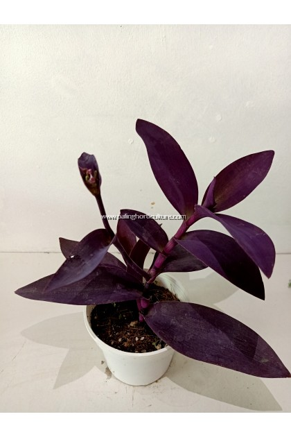 Tradescantia Pallida 'Purpurea' | Purple Heart