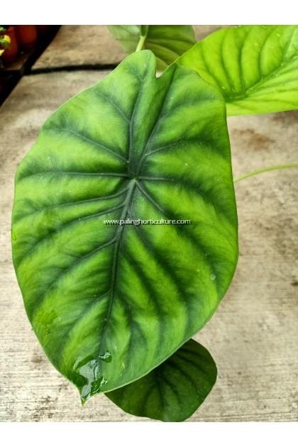 Alocasia Cuprea Green