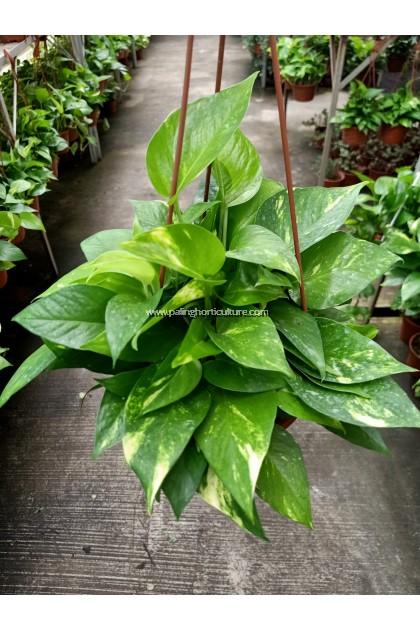 Money Plant | Pothos | Epipremnum aureum