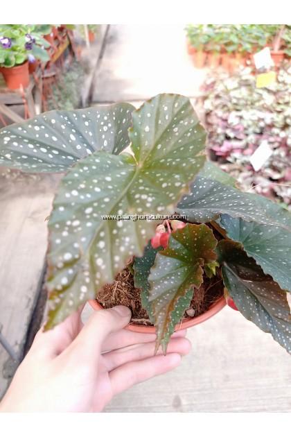Begonia Dotsy   Angel Wing Begonia