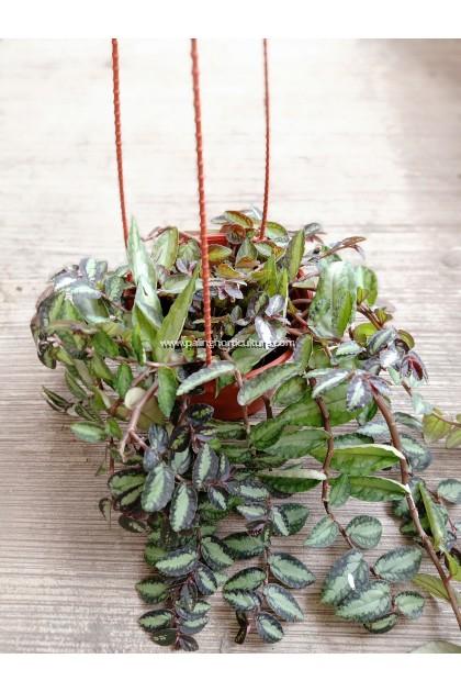 Procris Repens | Trailing Watermelon Begonia