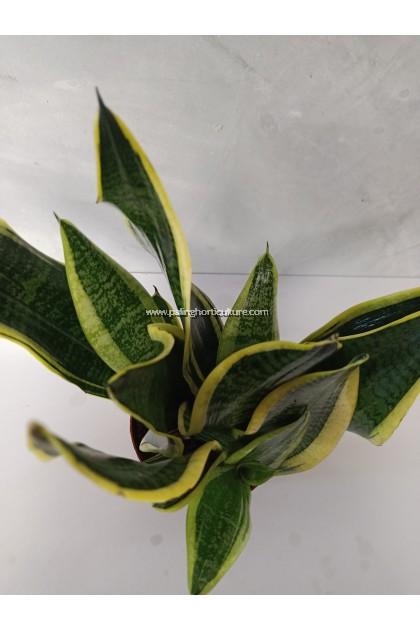 Snake Plant   Dracaena Trifasciata