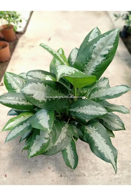 Dieffenbachia Silver Stripe