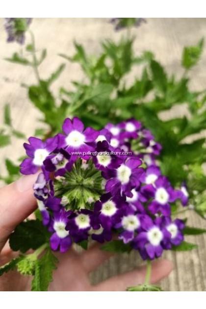 Garden Verbena