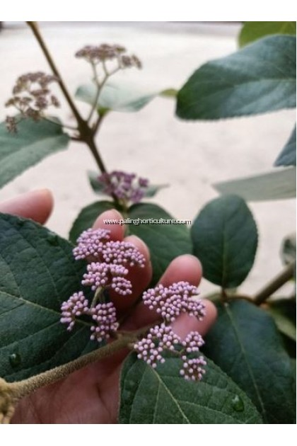 Beautyberry Flower Plant