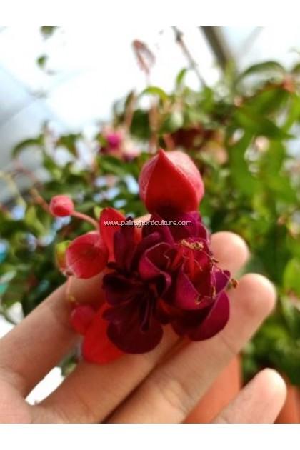 Fuschia Flower 吊钟花