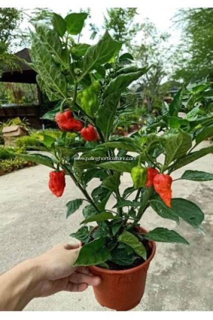 Pokok Chili Jambu 灯笼椒