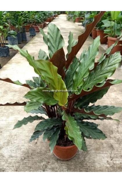 Calathea Rufibarba 红背竹芋