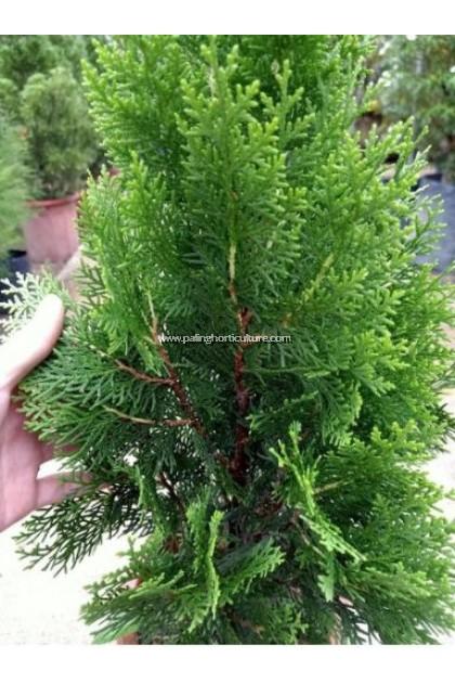 Christmas Tree - Platycladus Orientalis